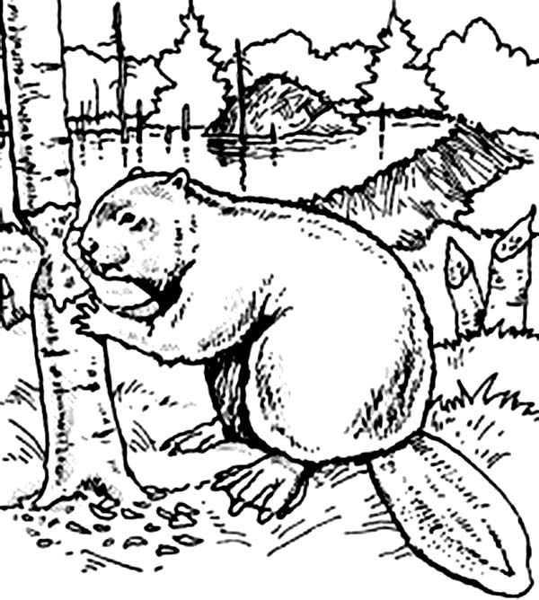 Beaver, : Beaver Want to Build Dam Coloring Page