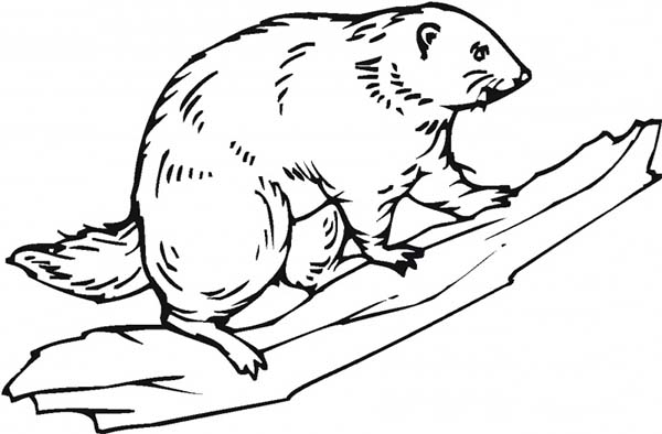 Beaver, : Beaver on Tree Branch Coloring Page