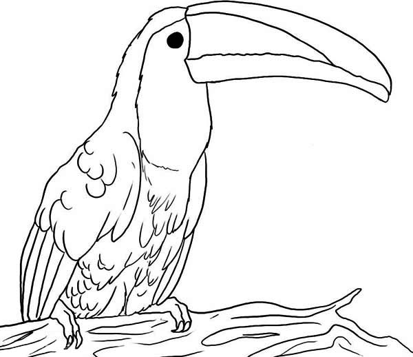 Toucan, : Big Beak Toucan Coloring Page
