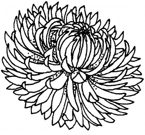 Chrysanthemum, : Blooming Chrysanthemum Coloring Page