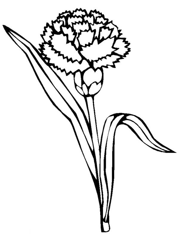 Carnation Flower, : Blossom Carnation Flower Coloring Page