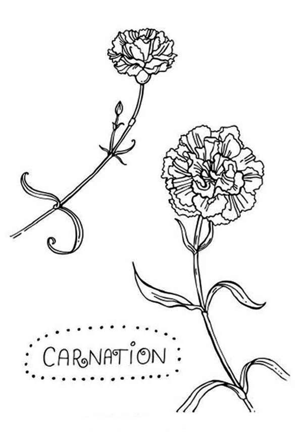 Carnation Flower, : C is for Carnation Flower Coloring Page