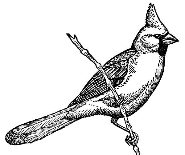 Cardinal Bird, : Cardinal Bird Coloring Page Singing on Tree Branch