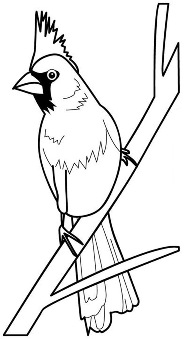 Cardinal Bird, : Cardinal Bird Coloring Page
