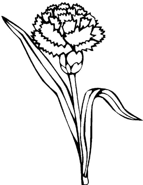 Carnation Flower, : Carnation Flower Picture Coloring Page