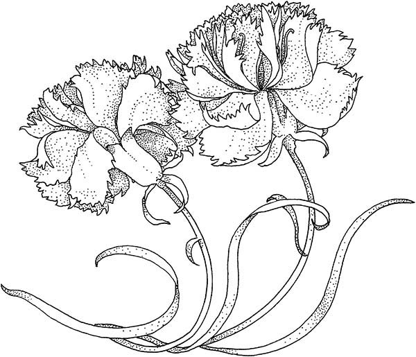 Carnation Flower, : Carnation the Heavenly Flower Coloring Page