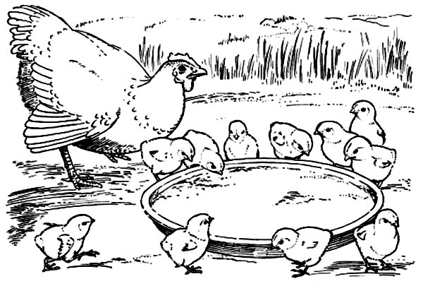 Chicken, : Chicken Eating from Their Plate Coloring Page