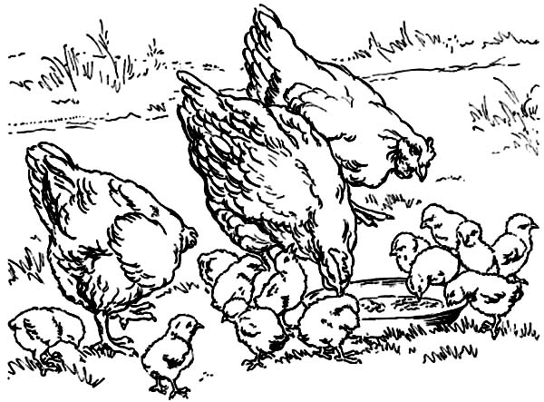Chicken, : Chicken in the Farm Coloring Page