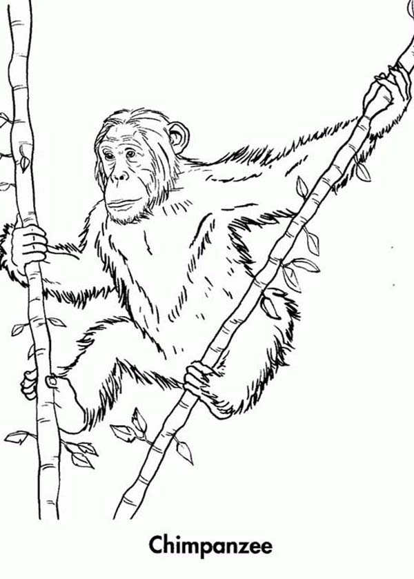 Chimpanzee, : Chimpanzee Climb Bamboo Tree Coloring Page