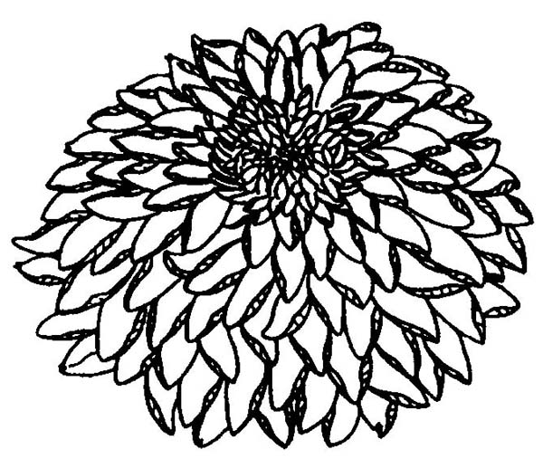 Chrysanthemum, : Chrysanthemum Flower Coloring Page