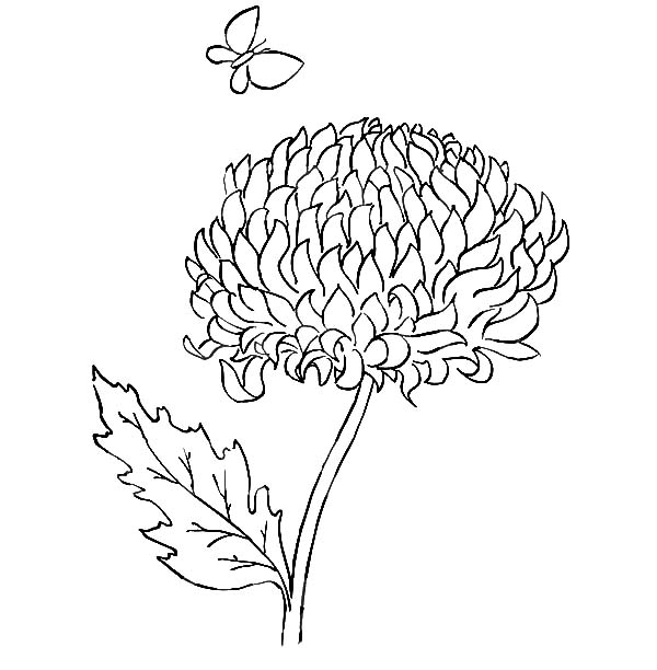 Chrysanthemum, : Chrysanthemum and a Butterfly Coloring Page