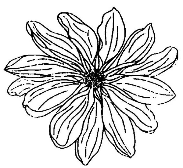Chrysanthemum, : Close Up Picture of Chrysanthemum Coloring Page