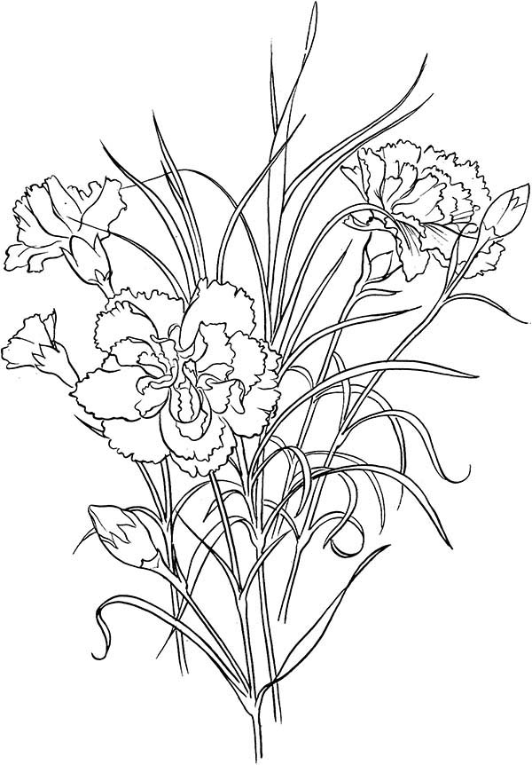 Carnation Flower, : Clove Pink Carnation Flower Coloring Page