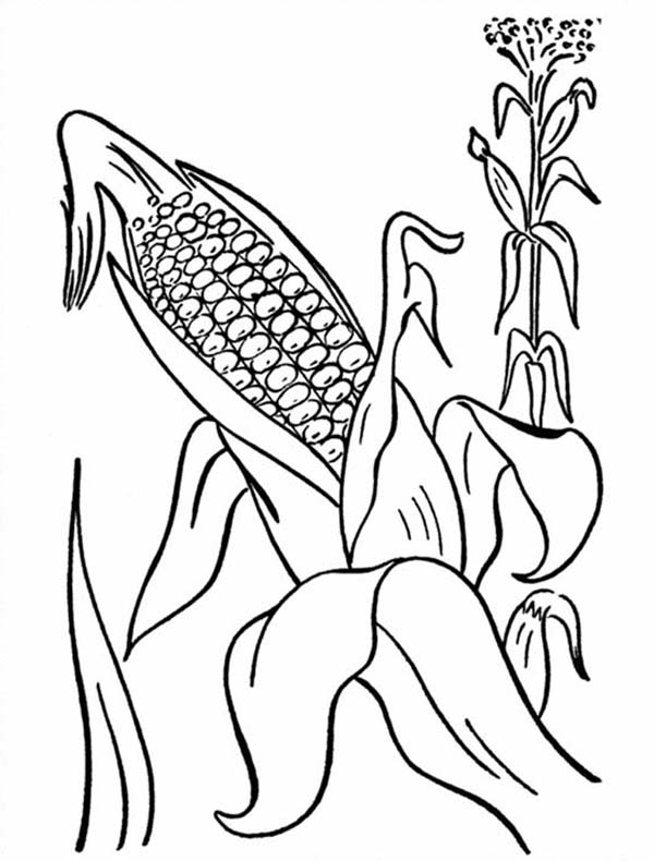 Corn, : Corn Cob from Mature Plant Coloring Page