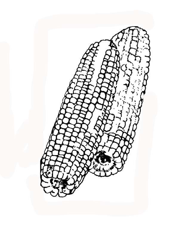 Corn, : Corn Crops Coloring Page