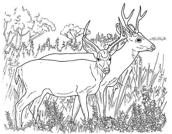 Deer, : Couple of North America Mule Deer Coloring Page