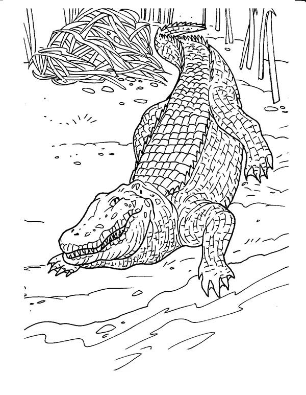 Crocodile, : Crocodile Back to Water After Lay Egg Coloring Page