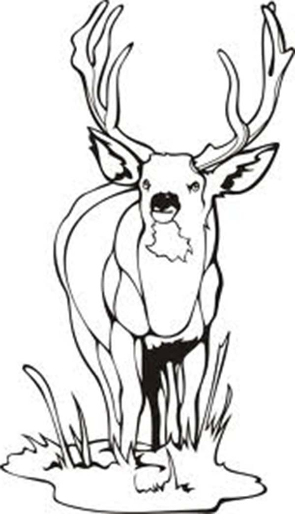 Deer, : Deer Cautious to Predator Animal Coloring Page