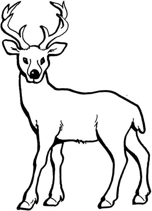 Deer, : Deer Coloring Page