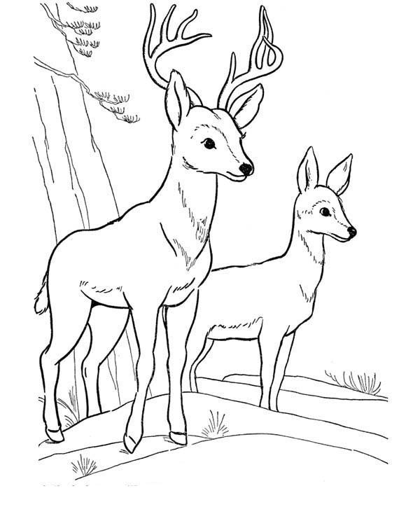 Deer, : Deer Fawn Picture Coloring Page