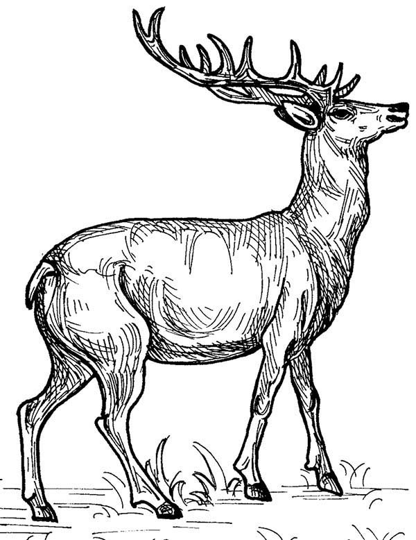 Deer, : Deer Sketch Coloring Page