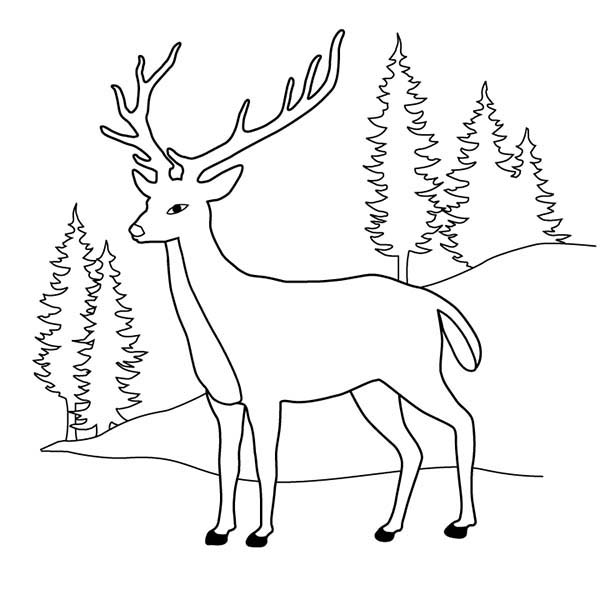 Deer, : Deer at Pine Forest Coloring Page