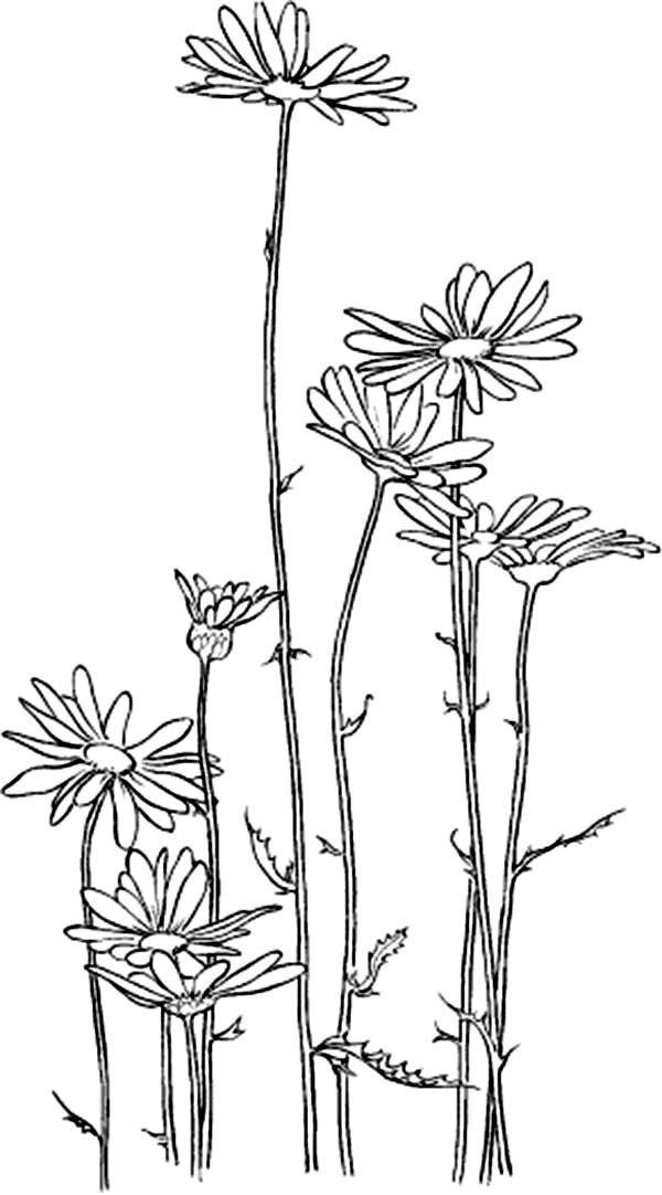 Chrysanthemum, : Garden of Chrysanthemum Coloring Page