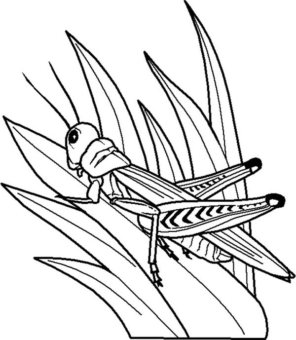 Bugs, : Grasshopper Eating Leaf is Species of Bugs Coloring Page