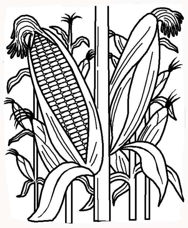 Corn, : Healthy Corn Plant Coloring Page