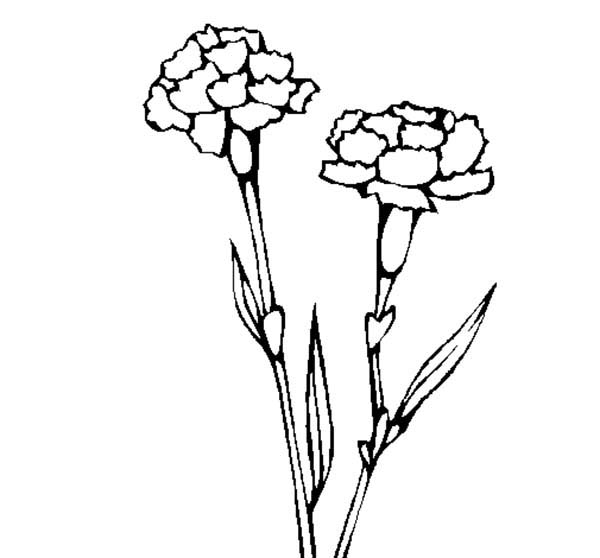 Carnation Flower, : How to Draw Carnation Flower Coloring Page
