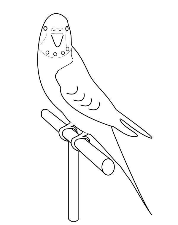 Parakeet, : How to Draw Parakeet Coloring Page