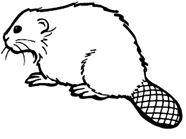 Beaver, : How to Draw a Beaver Coloring Page