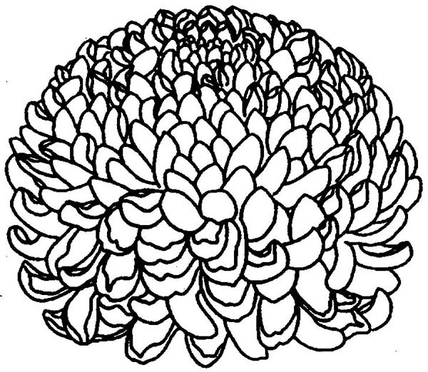 Chrysanthemum, : How to Draw a Chrysanthemum Coloring Page