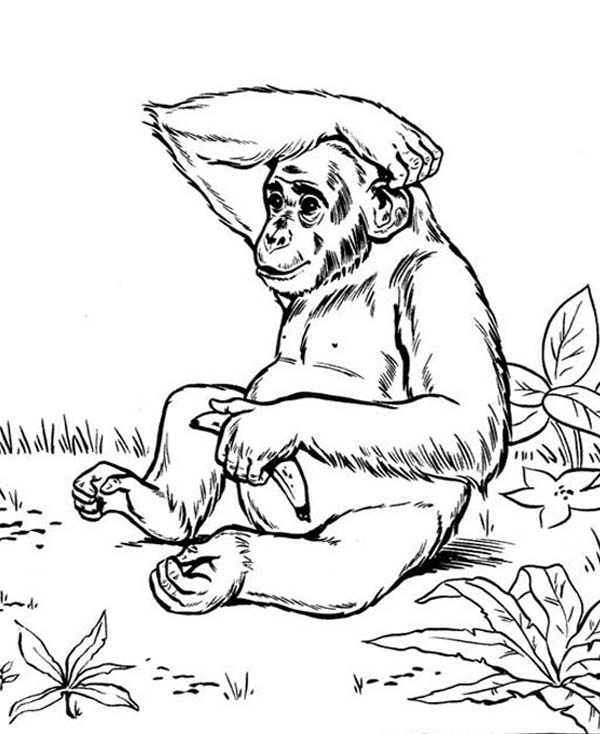 Chimpanzee, : Hungry Chimpanzee Eating Banana Coloring Page