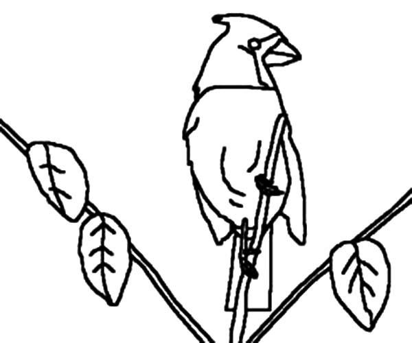 Cardinal Bird, : Kids Drawing Cardinal Bird Coloring Page