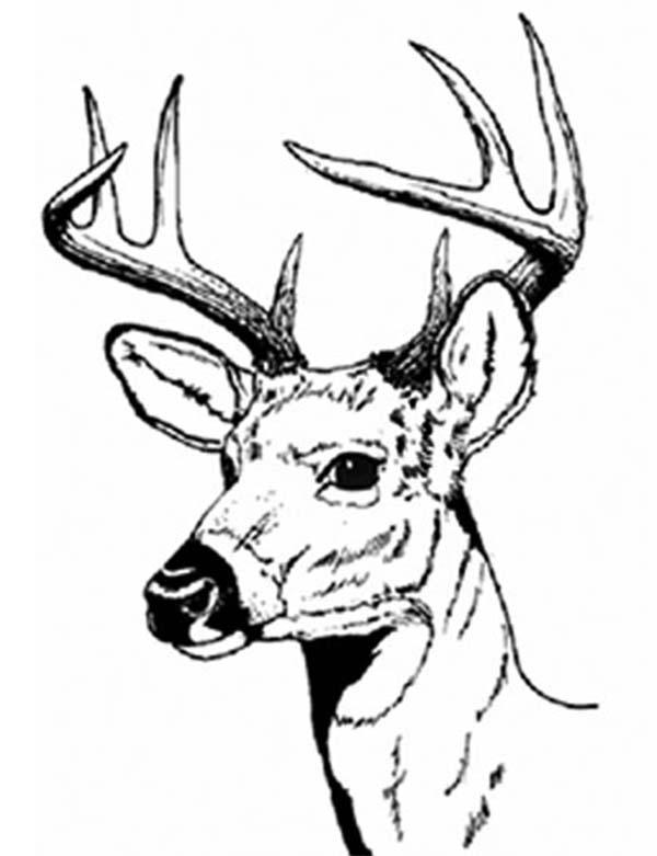 Deer, : Male Deer with Sharp Hartshorn Coloring Page