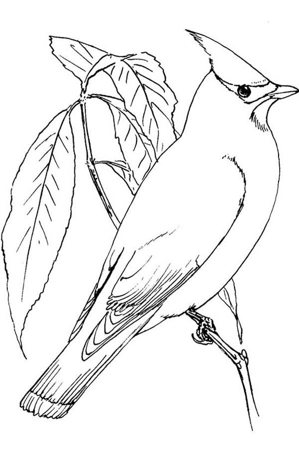 Cardinal Bird, : Northen Cardinal Bird Coloring Page
