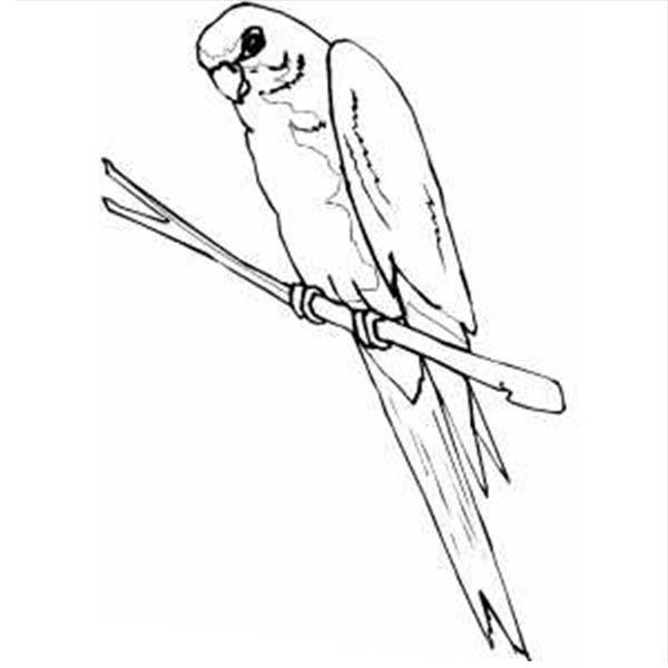 Parakeet, : Parakeet Picture Coloring Page