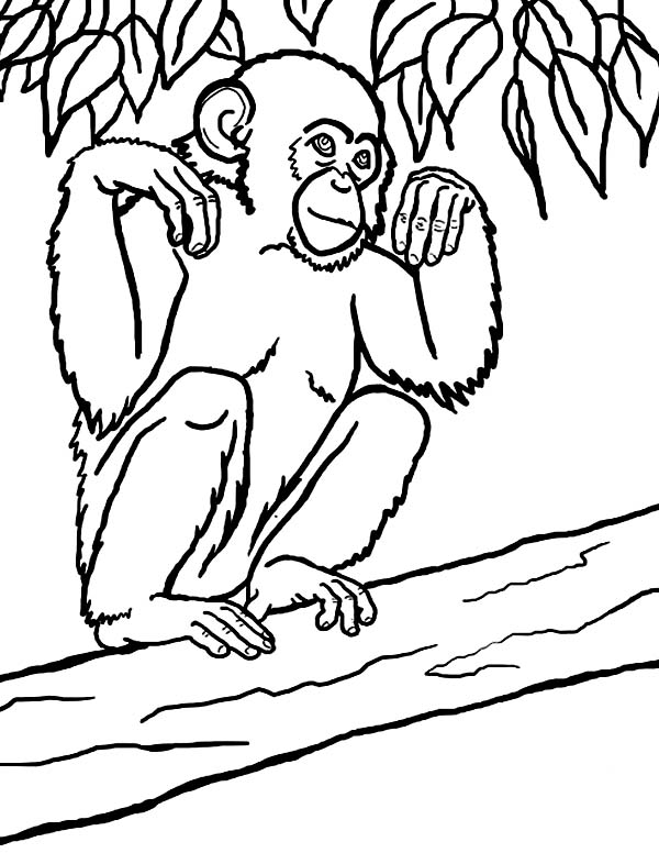 Chimpanzee, : Picture of Chimpanzee Coloring Page
