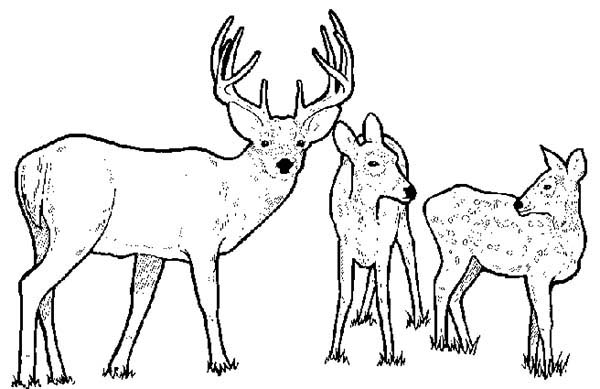 Deer, : Picture of Deer Family Coloring Page