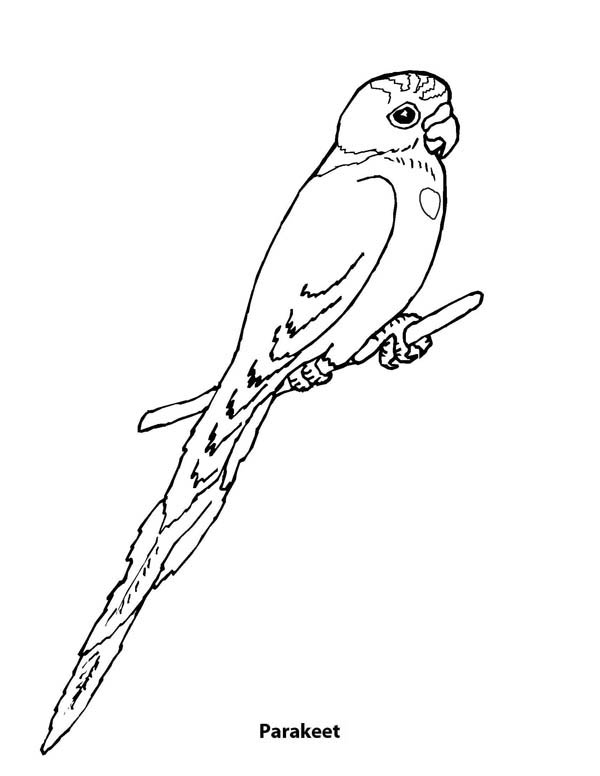 Parakeet, : Picture of a Parakeet Coloring Page