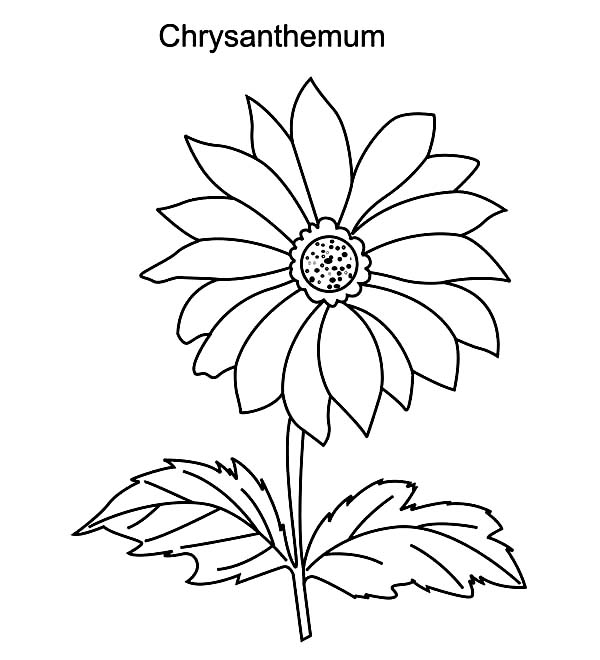 Chrysanthemum, : Pretty Chrysanthemum Flower Coloring Page