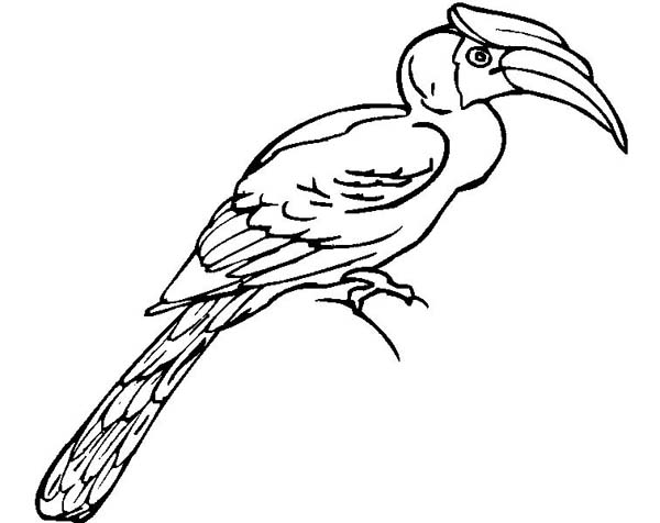 Toucan, : Rare Species of Toucan Coloring Page