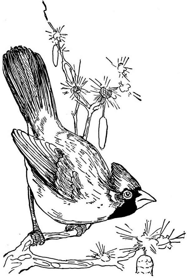 Cardinal Bird, : Sketch of Cardinal Bird Coloring Page