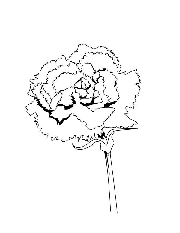 Carnation Flower, : Spain National Carnation Flower Coloring Page