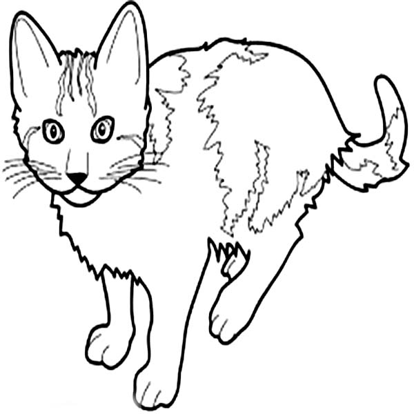 Cat, : Strong Male Cat Coloring Page
