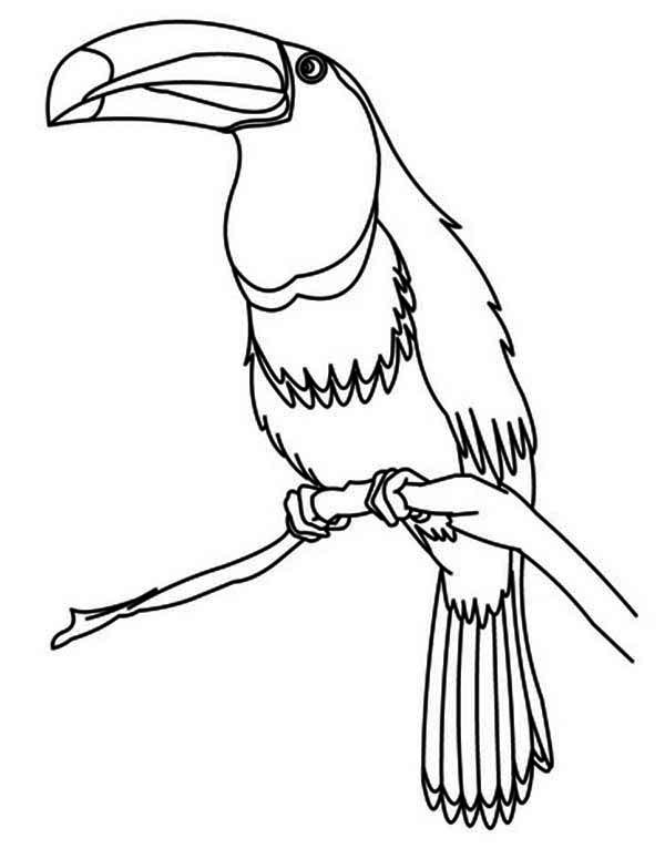 Toucan, : Toucan Bird Coloring Page