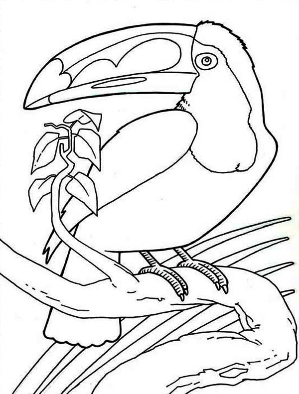 Toucan, : Toucan Image Coloring Page