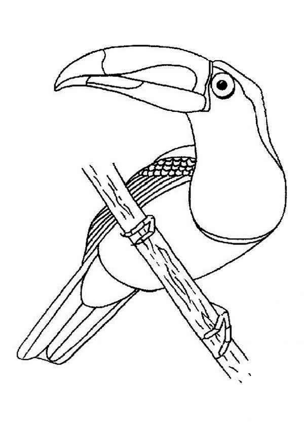 Toucan, : Toucan Posing Coloring Page