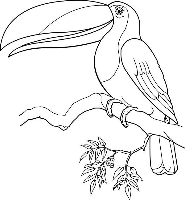Toucan, : Toucan Singing Coloring Page